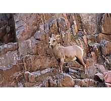 The Poser - bighorn sheep  Photographic Print