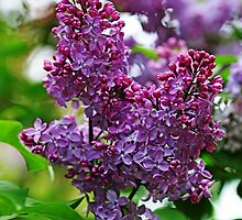 Love And Lilacs by Debbie Oppermann