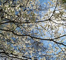 under a white Dogwood Tree by nastruck