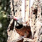 Male Flicker by Tori Snow