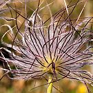 Dandelion at its worst but yet so fascinating.  by imagic
