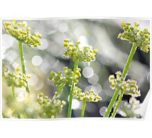 Fennel morning dew Poster