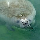 Manatee Close Up by ValeriesGallery