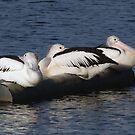 Australian Pelican By Three by stevealder