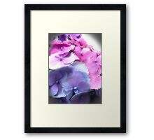 pinks and blue hydrangea Framed Print