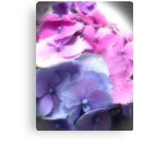 pinks and blue hydrangea Canvas Print