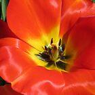 Stunning Scarlet Tulip Supermacro by BlueMoonRose