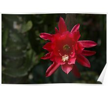 One Very Red Orchid Cactus Bloom - Delicate, Luminous and Elegant Poster