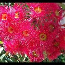 Bright Pink Australian Gum Flowers by Angela Gannicott