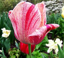 Beautiful Tulip by James Brotherton