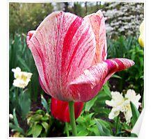 Beautiful Tulip Poster