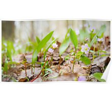Spring Beauty- Claytonia virginica Poster