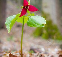 Red Trillium (Trillium erectum) by er1kksen