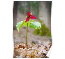 Red Trillium (Trillium erectum) Poster
