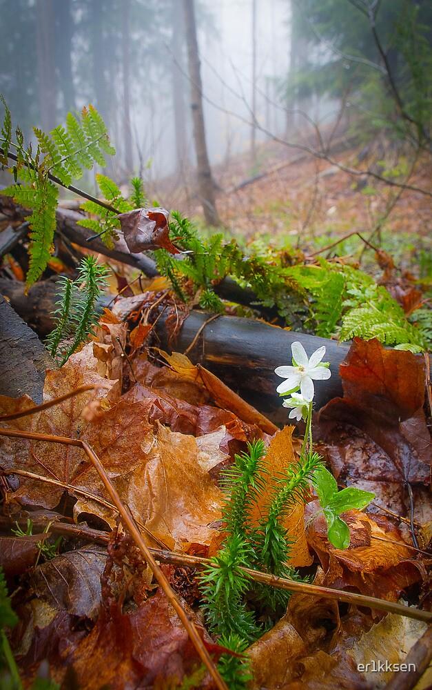 Misty Hepatica (Anemone hepatica) by er1kksen
