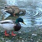 Mallard Ducks by MaeBelle