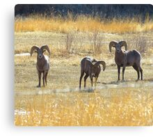 The Tarryall Herd Canvas Print