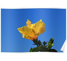Yellow Hibiscus in Bloom Poster