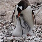 Antarctica Gentoo penguins and chicks by Braedene