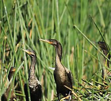 Neotropical Cormorants on Reeds by rhamm