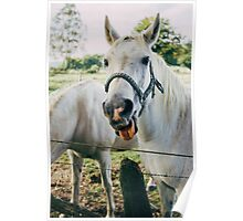 White Horse Sticking Out Tongue Poster