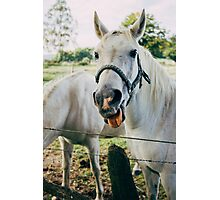 White Horse Sticking Out Tongue Photographic Print