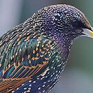 Starling Colours by relayer51