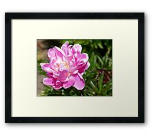 Perfect Pink Peony - Southland NZ Framed Print
