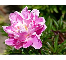 Perfect Pink Peony - Southland NZ Photographic Print