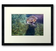 Green sea turtle (Chelonia mydas) swimming.  Framed Print