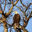Good Morning Mr Bald Eagle by DARRIN ALDRIDGE