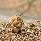 Red Squirrel by Sue Robinson