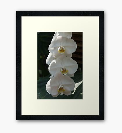 White Orchid Trio - Exotic Elegance Times Three Framed Print