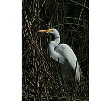 Great Egret Standing in Reeds Photographic Print