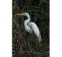 Great Egret in a Lake Photographic Print