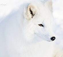 Arctic Fox by Yannik Hay