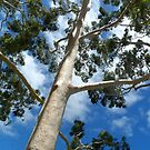 Gumtree by Alan Hogan