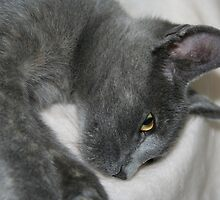 Close Up Portrait Of A Relaxed Grey Cat by taiche