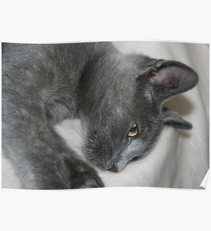 Close Up Portrait Of A Relaxed Grey Cat Poster