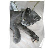 Cute Grey Kitten Relaxing Poster