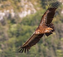 Griffon Vulture in flight by LaurentS