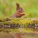 Red Squirrel portrait + reflection by LaurentS