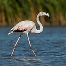 Flamingo in the water with reed background by LaurentS
