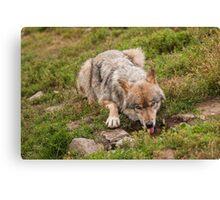 Wolf drinking Canvas Print