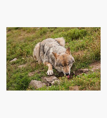 Wolf drinking Photographic Print