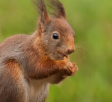 Red Squirrel eating nuts Sticker
