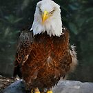 American Bald Eagle by Savannah Gibbs