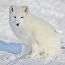 Arctic Fox (Click and see large!) by John44