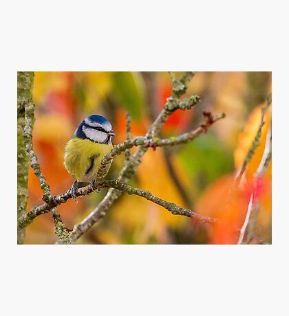 Blue Tit - Cyanistes caeruleus Photographic Print