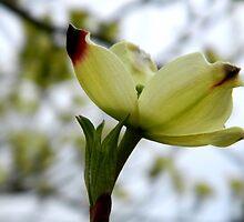 Dogwood Bloom - 4   ^ by ctheworld